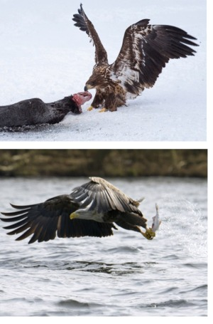 White-tailed eagle with dead seal