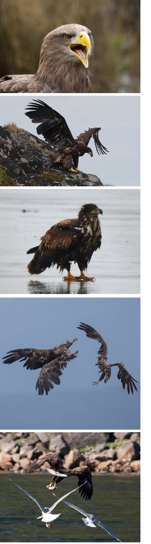 Various images of the white-tailed eagle