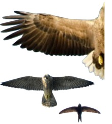 Wing shape of eagle, falcon and swift