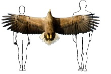 Comparative size of white-tailed eagle